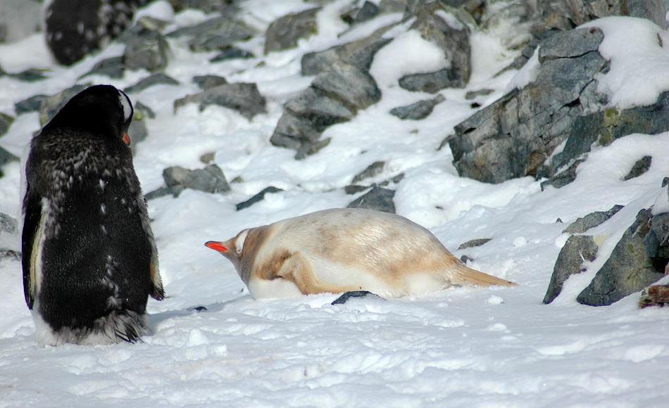 Häufiger als Melanismus tritt Leuzismus bei Pinguinen auf, besonders bei Adélie- und Eselspinguinen. Dabei werden in die Federn weniger Melanin eingelagert als normal und die Tiere erscheinen blond. Bild: Michael Wenger