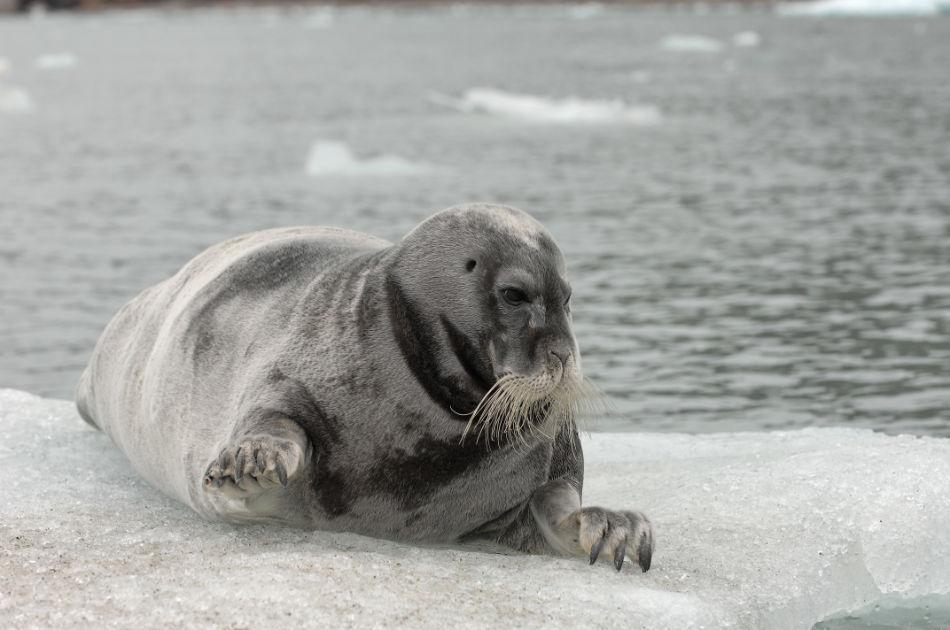 Robben aus der östlichen Arktis Kanadas haben es bisher geschafft, keinen Plastikmüll im Magen anzusammeln. (Foto: Vreni Gerber)