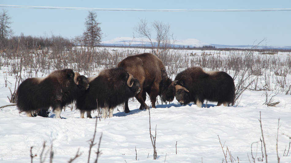Bisons und Moschusochsen gehören ebenfalls zur natürlichen Fauna des Parkes. (Foto: Pleistocene Park)