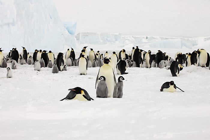 PolarNEWS_Kaiserpinguine_Snowhill_013