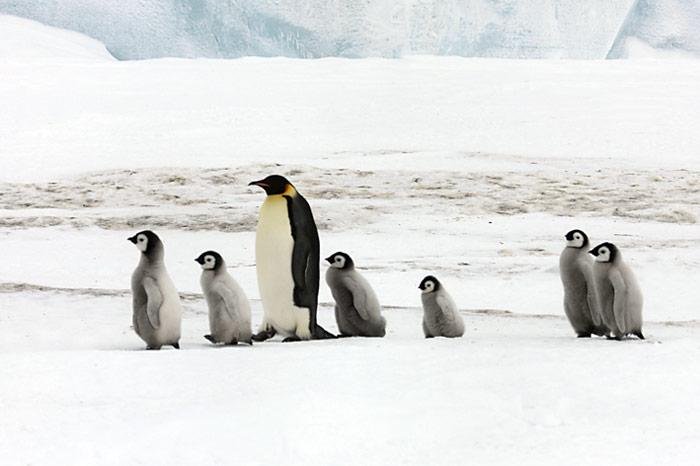 PolarNEWS_Kaiserpinguine_Snowhill_016