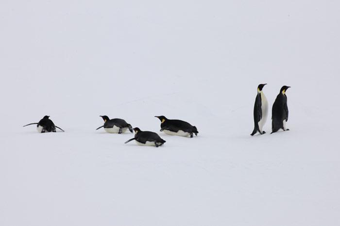 PolarNEWS_Kaiserpinguine_Snowhill_034